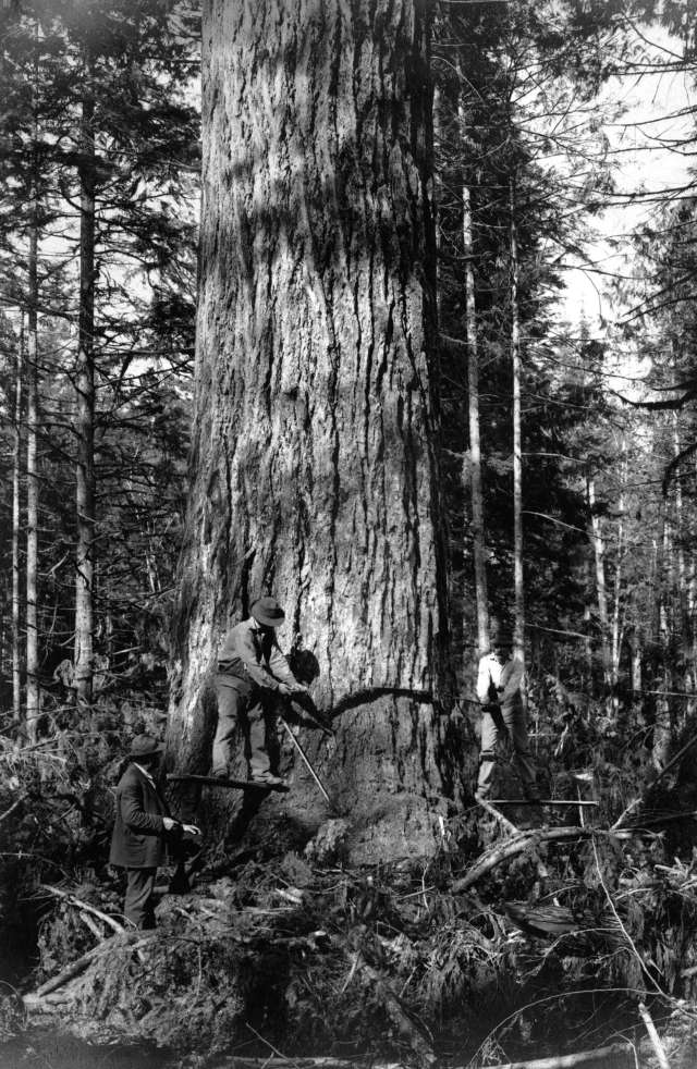 logging.giant.tree.vancouver.1900s